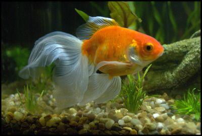 pesci rossi racconto di carla composto fantasy