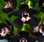 Orchidee nere